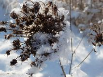 Dried flower head covered in snow Stock Images