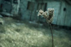 Dried flower head of a wild carrot royalty free stock photography