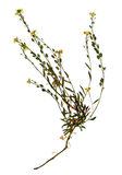 Dried flower of hoary alyssum Royalty Free Stock Image
