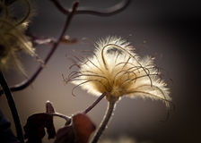 Dried Flower in Nature Royalty Free Stock Images