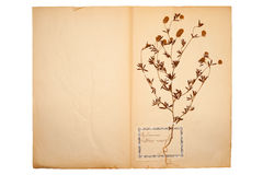 Dried flower on old, gone yellow paper Stock Images