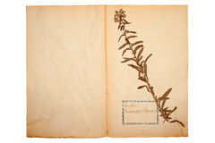 Dried flower on old, gone yellow paper Stock Photo