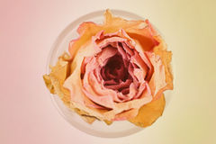 Dried flower of a pink rose Royalty Free Stock Photography