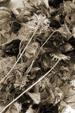 Dried flower sepia. Dried flower in sepia background Royalty Free Stock Image