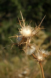 Dried Flower of the Thistle. Some Dried Flowers with Thorns in the Desert royalty free stock photography