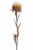 Dried flower with thorns Stock Photos