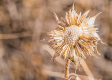 Dried Flower in Winter Stock Photo