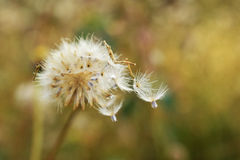 Dried flowering grass nature blur background.  Royalty Free Stock Images