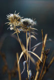 Dried flowers in autumn Stock Images