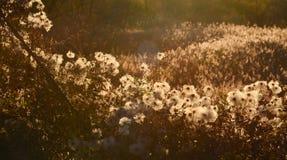 Dried flowers, autumn meadow, sunlight. Dried flowers, autumn meadow against sun, sunlight Stock Photos