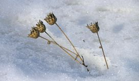 Dried flowers on a background of white snow Royalty Free Stock Images