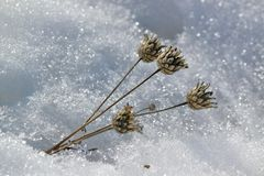 Dried flowers on a background of white snow Royalty Free Stock Photos
