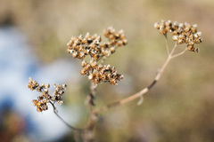 Dried flowers branches of tansy. Closeup stock photo