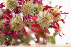 Dried flowers. The bright red Dried flowers Royalty Free Stock Photos