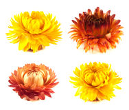 Dried flowers collection.  on white. Stock Photos