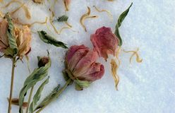 Dried flowers. On a snow royalty free illustration
