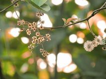 Dried flowers and dried sepal on trees with sunlight shining in the garden. Flowers with the season changes royalty free stock photo