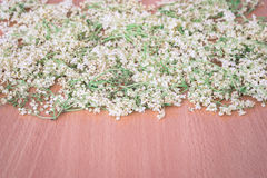 Dried flowers of elderberry Royalty Free Stock Photo