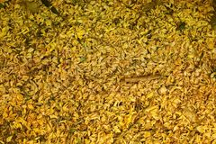 Dried flowers fall on the floor, Golden  Flowers on Ground.  Royalty Free Stock Images