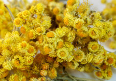 Dried flowers of helichrysum Stock Images