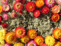 Dried flowers on moss. Colorful dried flowers on the moss royalty free stock image