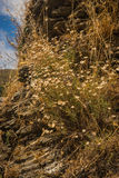 Dried flowers on the rocks, Andros, Greece Stock Photos