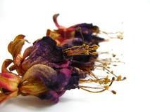 Dried flowers. It's dried Enkianthus quinque florusLour Stock Image