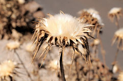 Dried Flowers. Some Dried Flowers with Thorns in the Desert stock photography