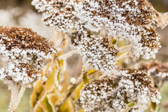 Dried flowers stonecrop with white hoarfrost, macro Royalty Free Stock Photo