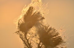 Dried flowers in sunset Royalty Free Stock Photography