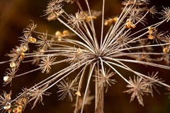 Dried flowers. Sweet anise - dried flowers in winter time. Lat. Pimpinella anisum stock image