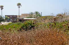 Dried flowers, two palm trees, the road to the sea park in Caesarea, Israel, summer Stock Photography