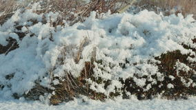 Dried flowers under the snow. Clean and frosty daytime. Smooth dolly shot stock video footage