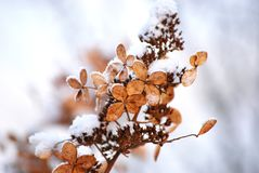 Dried flowers under winter snow royalty free stock photography