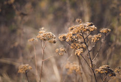 Dried flowers of yarrow. Autumn meadow Stock Image