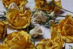 Dried flowers of yellow and white roses. On an old background with peeling paint royalty free stock images