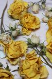 Dried flowers of yellow and white roses. On an old background with peeling paint stock images