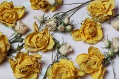 Dried flowers of yellow and white roses. On an old background with peeling paint royalty free stock photography