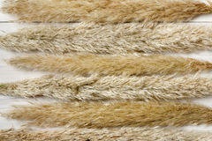 Dried fluffy cattail flower texture background on white wood. Stock Photo
