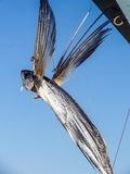 Dried flying fish Stock Image