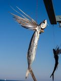Dried flying fish Stock Photography