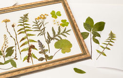 Dried forest plants for herbarium in frame Stock Photo