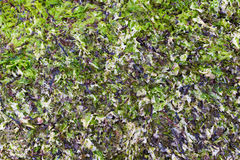 Dried and fresh laminaria as background Royalty Free Stock Photos