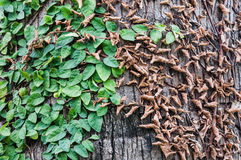 Dried and fresh leaves on wooden background Royalty Free Stock Photography