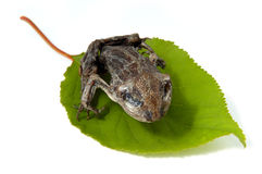 Dried frogling on a leaf isolated Royalty Free Stock Photo