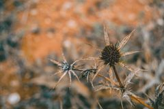 Dried fruit cirsium stock photography