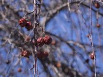 Dried fruit on tree Stock Image