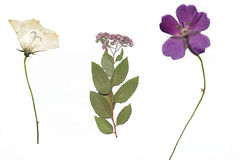 Dried garden flowers. Three dried garden flowers on a white background isolated, herbarium royalty free stock photos