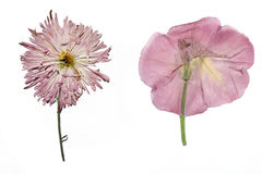 Dried garden flowers. Dried violet garden flowers on a white background isolated, herbarium royalty free stock image