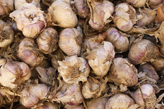 Dried Garlic Bulbs Stock Image